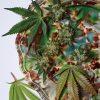 Cannabis Culinary Combing